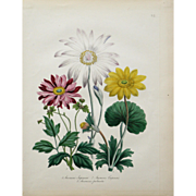 """Three Varieties of Anemone"" Hand Colored Lithograph by Artist Loudon, Jane Webb"