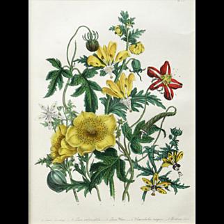 """Loosa, Blumenbachia, and Bartonia"" Hand Colored Lithograph Print by Artist Loudon, Jane Webb"