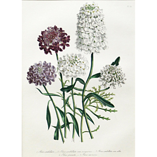 """""""Five Varieties of Iberis"""" Hand Colored Lithograph by Artist Loudon, Jane Webb"""
