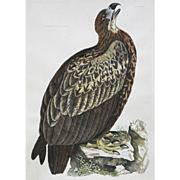 """Cinereous Eagle, Young Plate III"" John Selby Engraving"
