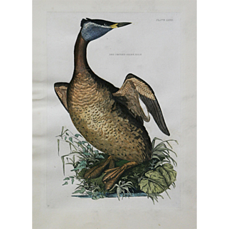 """""""Red Necked Gribe, Male Plate LXXII"""" John Selby Engraving"""