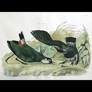 """Green Lapwing Plate XXXIV"" John Selby Engraving"