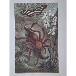 Matoudou Crab Spider - Antique Chromolithograph by Louis Prang from Animate Creation Illustrated - Published in 1885