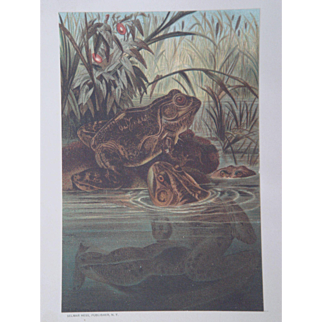 Bull Frog - Antique Chromolithograph by Louis Prang from Animate Creation Illustrated - Published in 1885