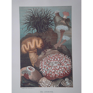 Sea Anemones - Antique Chromolithograph by Louis Prang from Animate Creation Illustrated - Published in 1885