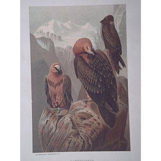 Lammergeyer Bearded Vulture - Antique Chromolithograph by Louis Prang from Animate Creation Illustrated - Published in 1885