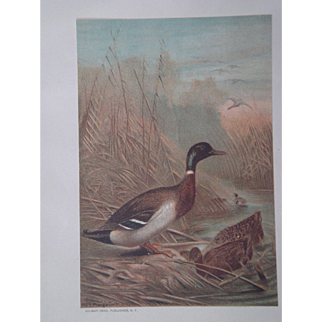 Mallard Duck - Antique Chromolithograph by Louis Prang from Animate Creation Illustrated - Published in 1885