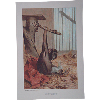 Chimpanzee - Antique Chromolithograph by Louis Prang from Animate Creation Illustrated - Published in 1885