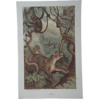 Puma - Antique Chromolithograph by Louis Prang from Animate Creation Illustrated - Published in 1885