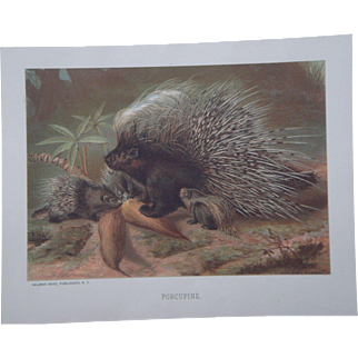 Porcupine - Antique Chromolithograph by Louis Prang from Animate Creation Illustrated - Published in 1885