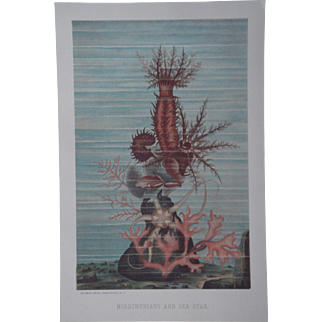 Holothurians (Sea Cucumber) and Sea Star (Starfish) - Antique Chromolithograph by Louis Prang from Animate Creation Illustrated - Published in 1885
