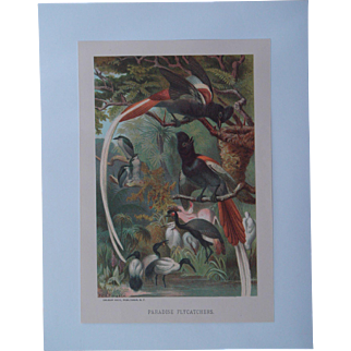 Paradise Flycatchers - Antique Chromolithograph by Louis Prang from Animate Creation Illustrated - Published in 1885