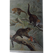 Book plate of the White Nosed Coati, ca. 1880 in vintage frame