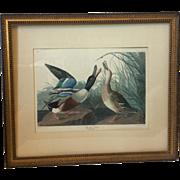 "Audubon Print ""Shoveller Duck,"" Matted & Framed"