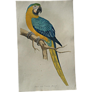 A F Lydon Late 1800's Parrots In Captivity Blue And Yellow Macaw Engraving Print
