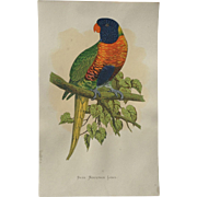 A F Lydon Late 1800's Parrots In Captivity Blue Mountain Lory Engraving Print