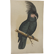 A F Lydon Late 1800's Parrots In Captivity Great Black Cockatoo Engraving Print