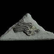 Fossil Crinoid; Platycrinites brevinodus; Crawfordsville, Illinois