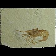 Fossil Shrimp; Carpopenaeus callirostris; Cretaceous; Lebanon