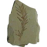 Dawn Redwood Leaf Fossil; Oligocene; Montana