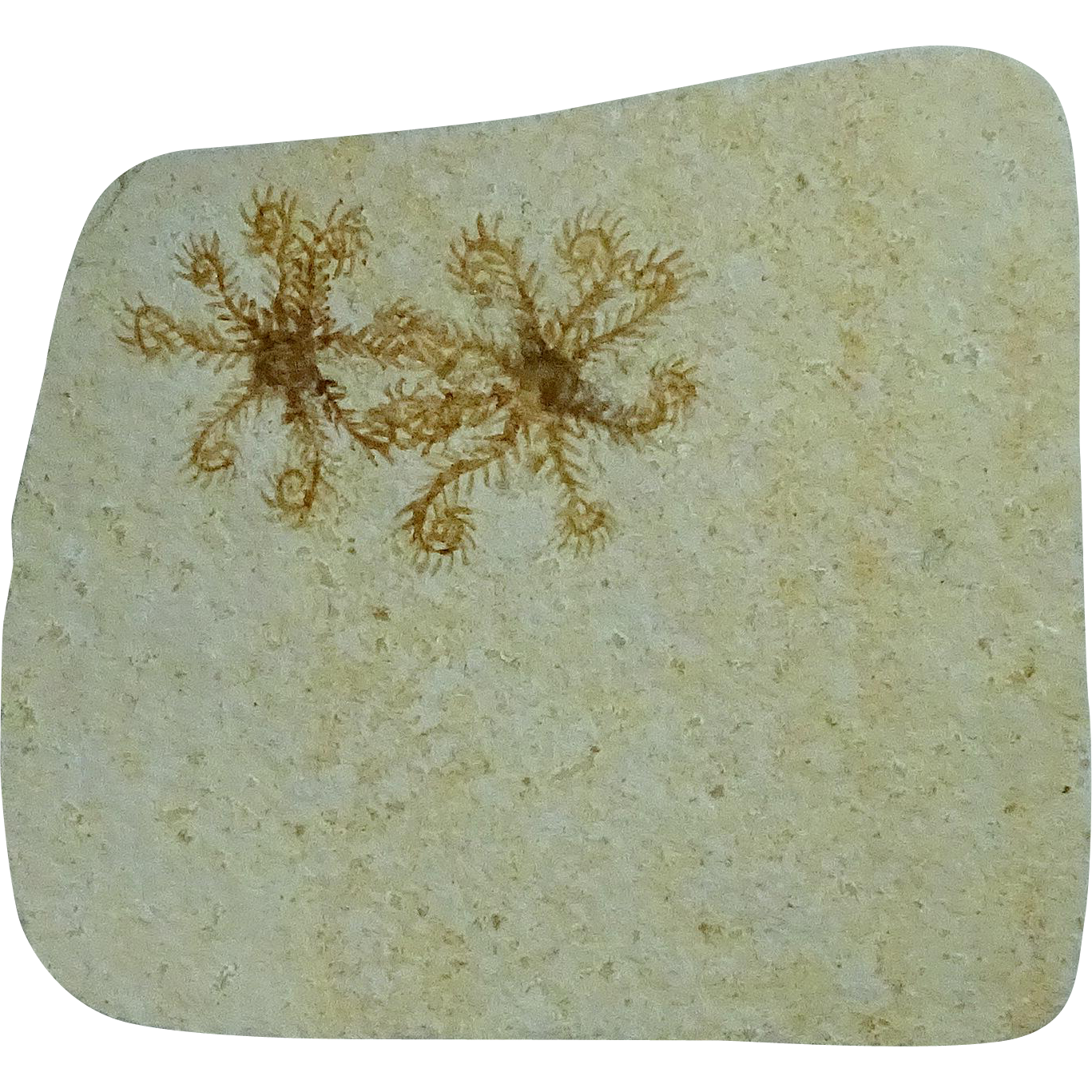 Floating Crinoid Fossil; Dates From the Jurasic Period; Germany