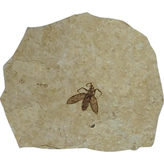 Fossil March Fly; Plecia pealei; Eocene; Wyoming