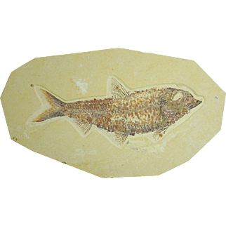 "Fossil Fish; Large Knightia eocaena; 5.25"" Long; Wyoming"