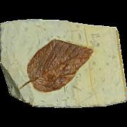 Fossil leaf; Paleocene; Montana