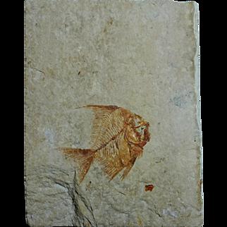 "Fossil ""Angel"" Fish; Aipichthys minor; Cretaceous; Lebanon"