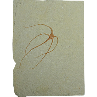 Fossil Brittle Starfish; Geocoma libanotica; Cretaceous; Lebanon