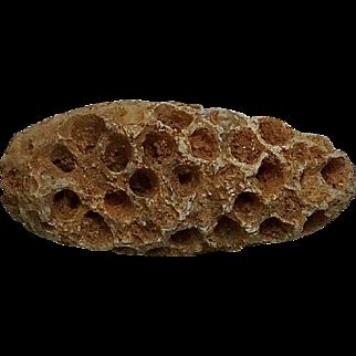 Fossil Seed Cone; Eocene; Morocco