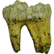 Fossil Extinct Cave Bear Tooth; Pleistocene; Russia