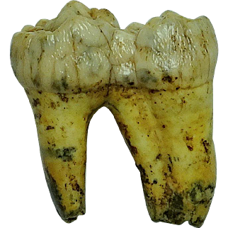 Fossil Extinct Cave Bear Tooth; Pleistocene; Russia
