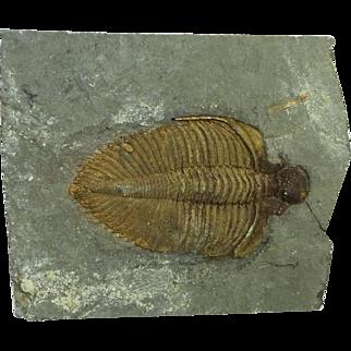 Trilobite; Coronocephalus sp.