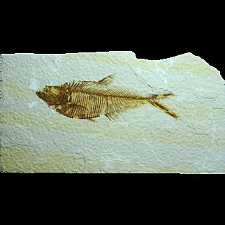 Fossil Fish; Diplomystus dentatus; Wyoming