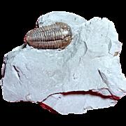 Trilobite Fossil; Flexicalymene retrorsa; Ohio