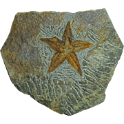 Starfish Fossil; Petraster sp.; Morocco