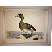 Prideaux John Selby British artist signed large Scaup Pochard duck bird print