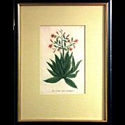 Johann W. Weinmann: Aloe Serrata Major Umbellifera, Plate. 62. Mezzotint Engraving. Germany, c.1740