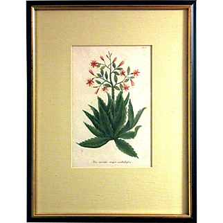 Johann W. Weinmann: Aloe Serrata Major Umbellifera, Plate. 62. Mezzotint Engraving. Germany, c.1740