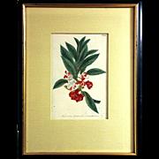 Johann W. Weinmann: Balsamina Foemina Flore Variegato Pleno. Plate 221. Mezzotint Engraving. Germany, c.1740