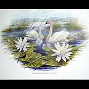 Trumpeter Swan litho print by Artist James Lockhart, Bird and Animal Artist