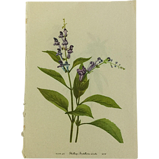Vintage prints from Mary Vaux Walcott's 1953 edition of Wildflowers of North America. Chromolithograph