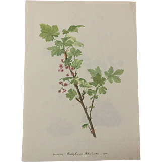 Vintage prints from Mary for Walcott's 1953 edition of Wildflowers of North America