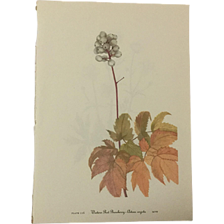 Vintage prints from Mary Vaux Walcott's 1953 addition of Wildflowers of North America