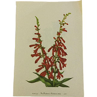 Vintage print from Mary Vaux Walcott's 1953 edition of Wildflowers of North America