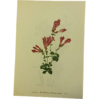 Vintage print from Mary Vaux Walcott's 1953 addition of Wildflowers of North America