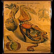 Large School Chart of a Pigeon by Paul Pfurtscheller, circa 1915