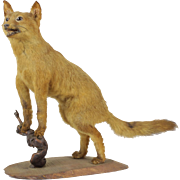 Young Fox Taxidermy