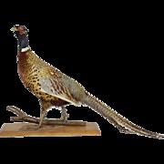 French Pheasant Taxidermy